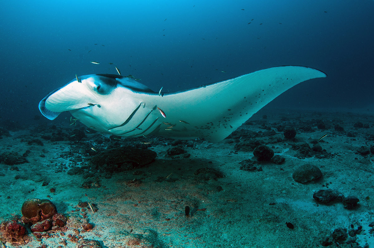 A manta ray visits a cleaning station off a deeper reef slope. Many larger creatures that are not residents to a particular reef will make use of a cleaning station in the area, sometimes on a regular basis. This phenomenon has contributed to divers and snorkelers seeking out cleaning stations in order to be able to sight mantas and sharks. Photo by Umeed Mistry.