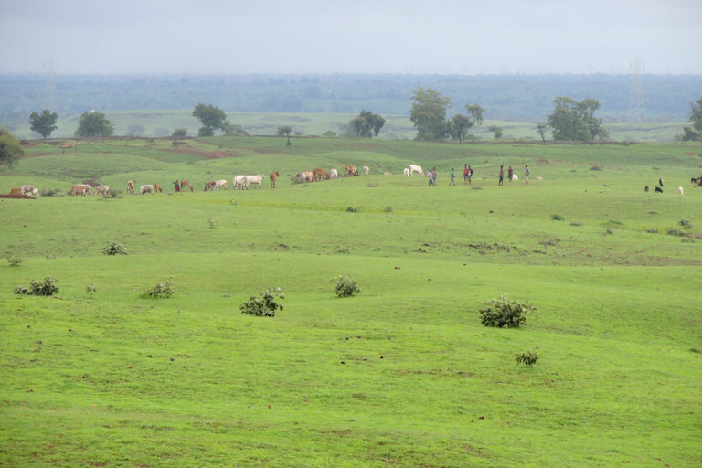 The lesser florican's habitat, a grassland, in the Dhar district of Madhya Pradesh. The habitat is under threat due to overgrazing. Photo from Dilsher Khan.